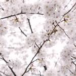 【京都の桜めぐり】見頃の時期とおすすめコースを大特集!